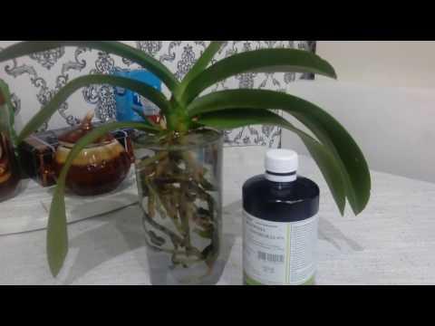 Как перевести орхидею на водный метод))