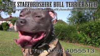 Blue Staffordshire Bull Terrier Stud