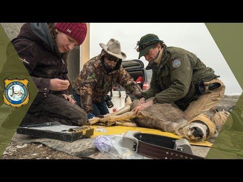 Wyoming Range Mule Deer - 2018 Project Update