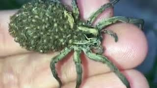 Wolf Spider Momma Carries Babies on Her back