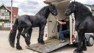 Cai frizieni 🐴 cei mai frumosi cai din lume 2018