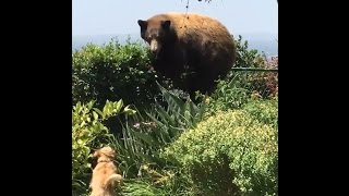Dogs Freak Out When They See A Bear In Their Backyard
