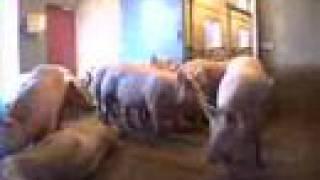 Pig Slaughter 7