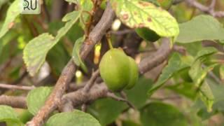 видео Выращивание сливы в саду