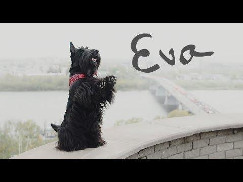 Scottish terrier Eva - tricks