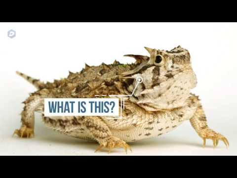 Horned frog? Horny toad? What do you call TCU's mascot?