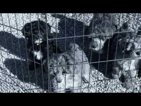 Furgee's schnoodle puppies 3-16-17