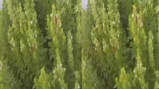урожай винограда на острове Тира (Фира, Санторин, Санторини)(, 2014-08-31T06:58:34.000Z)