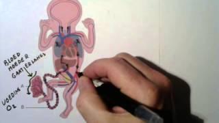 Foetale Bloedsomloop