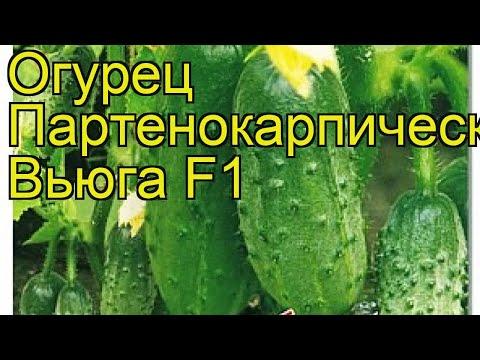 Огурец партенокарпический Вьюга F1. Краткий обзор, описание характеристик cucumis sativus Viuga F1 | партенокарпический | описание | огурец | обзор | вьюга | sativus | cucumis | viu | f1