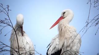 cigognes blanches au parc des oiseaux