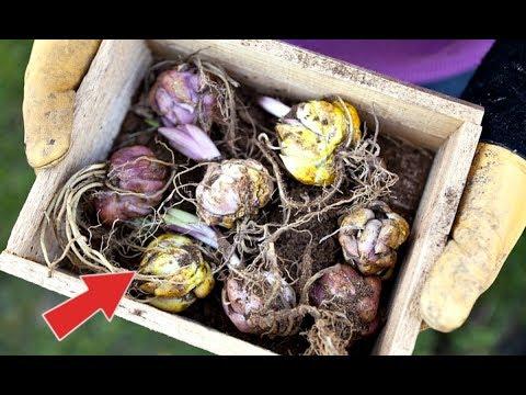 Когда выкапывать лилии? Что делать с луковицами лилии после выкапывания?