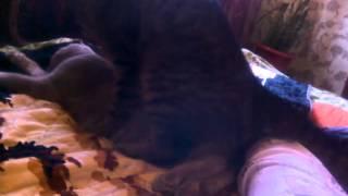Кот насилует котёнка шотландца !.