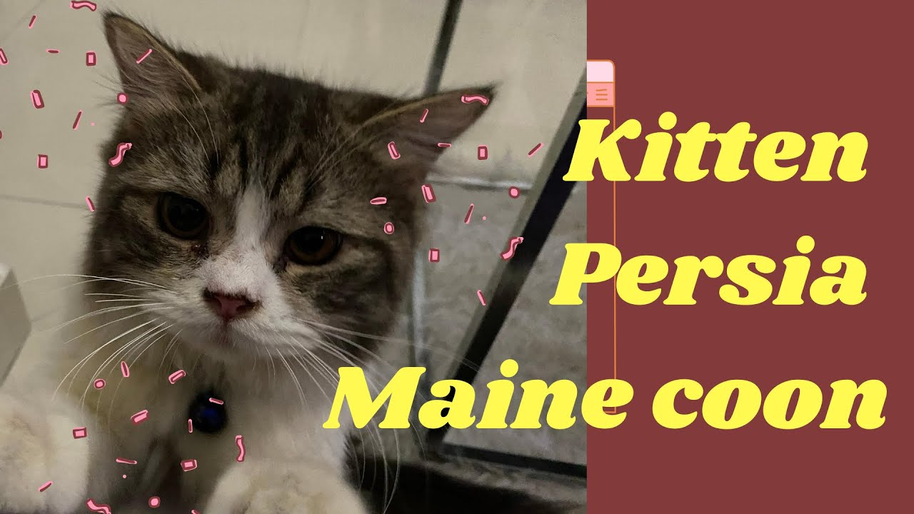 Kucing Persia Mix Maine Coon Youtube