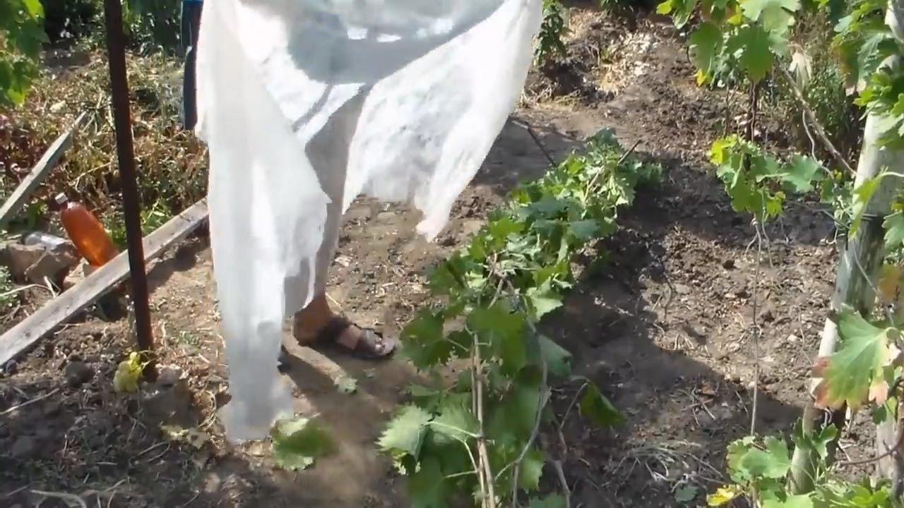 Укрытие однолетних саженцев винограда на зиму. - YouTube