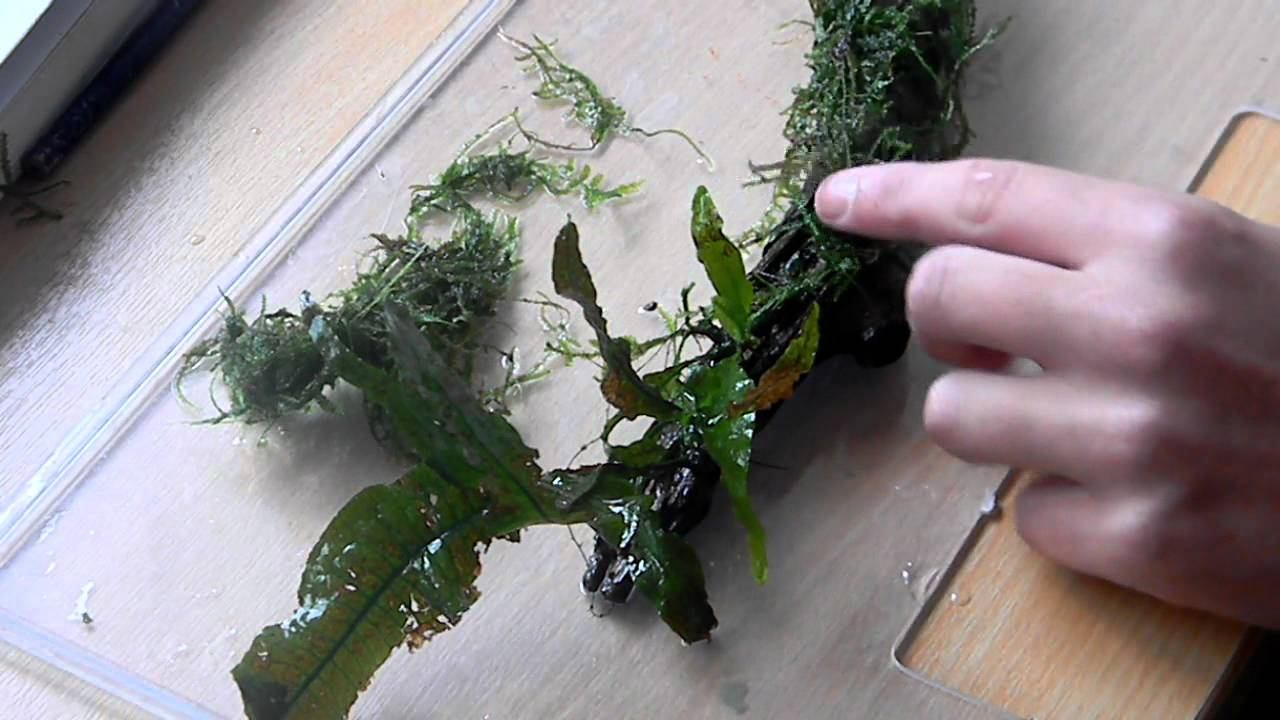 How To Attach Java Moss On Driftwood Youtube