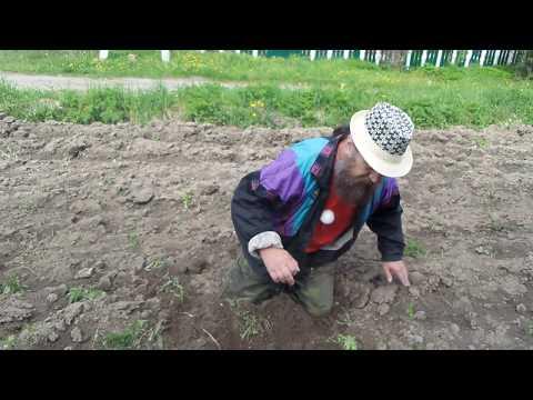Вопрос: Стоит ли сажать картошку под зиму, чтобы весной на нее не отвлекаться?