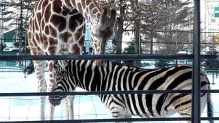 おびひろ動物園のアミメキリンのリボンとチャップマンシマウマのシャン...