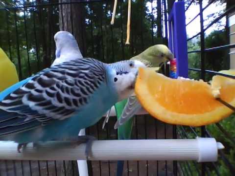 Parakeet Series Eating Orange Part 1
