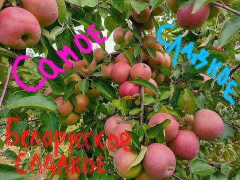 Сорт яблони Белорусское сладкое в Московской обл. Сентябрь 2020 года. Саженцы плодовых деревьев.
