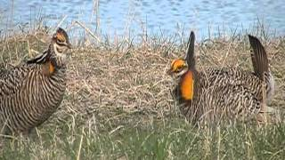 Greater Prairie Chickens in greater Minnesota