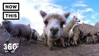 what does an alpaca sound like