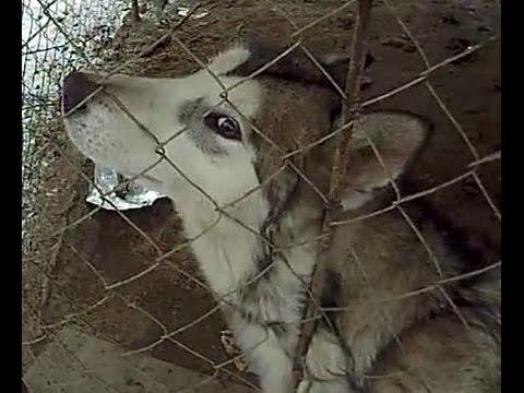 My Big Strong Alaskan Malamute Dog MELI Running & Hunting Cat in My Yard !!!