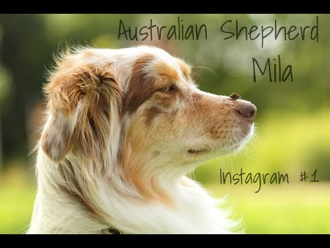 Dog-Tricks | Instagam-Video #1 | Australian Shepherd Mila ♥