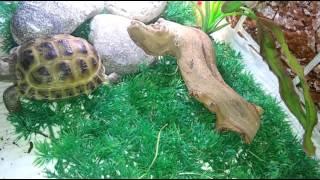 Как ухаживать за сухопутной среднеазиатской черепахой!?