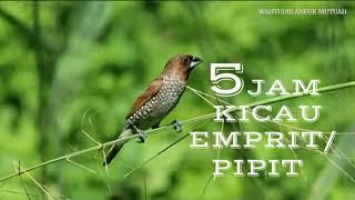 Full Kicau Emprit / Pipit Nonstop 5 Jam Sangat Cocok Buat Pancingan Burung Kesayangan Anda