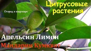 Цитрусовые растения.Апельсин.Лимон.Мандарин.Кумкват.Обзор моих субтропиков