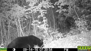 Tagged Black Bear in Spencer, NY