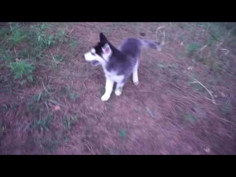 Mark, the Siberian Husky Puppy - Husky Palace