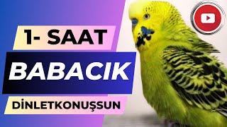 Muhabbet Kuşu Fıstık Babacık Babacık 1 saat #dinletkonuşsun
