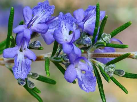 Best Beautiful Rosemary Flowers In The World!! Awesome Images & Pictures