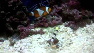 Dracula Goby feeding Tiger Pistol Shrimp