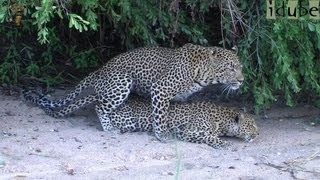 WILDlife: Mating Leopards - African HD Wildlife