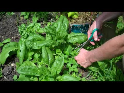 How To Grow Spinach From Seed You