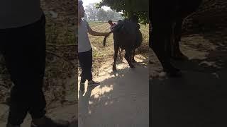 Gambar cover Pd pregnant diagnosis of buffalo