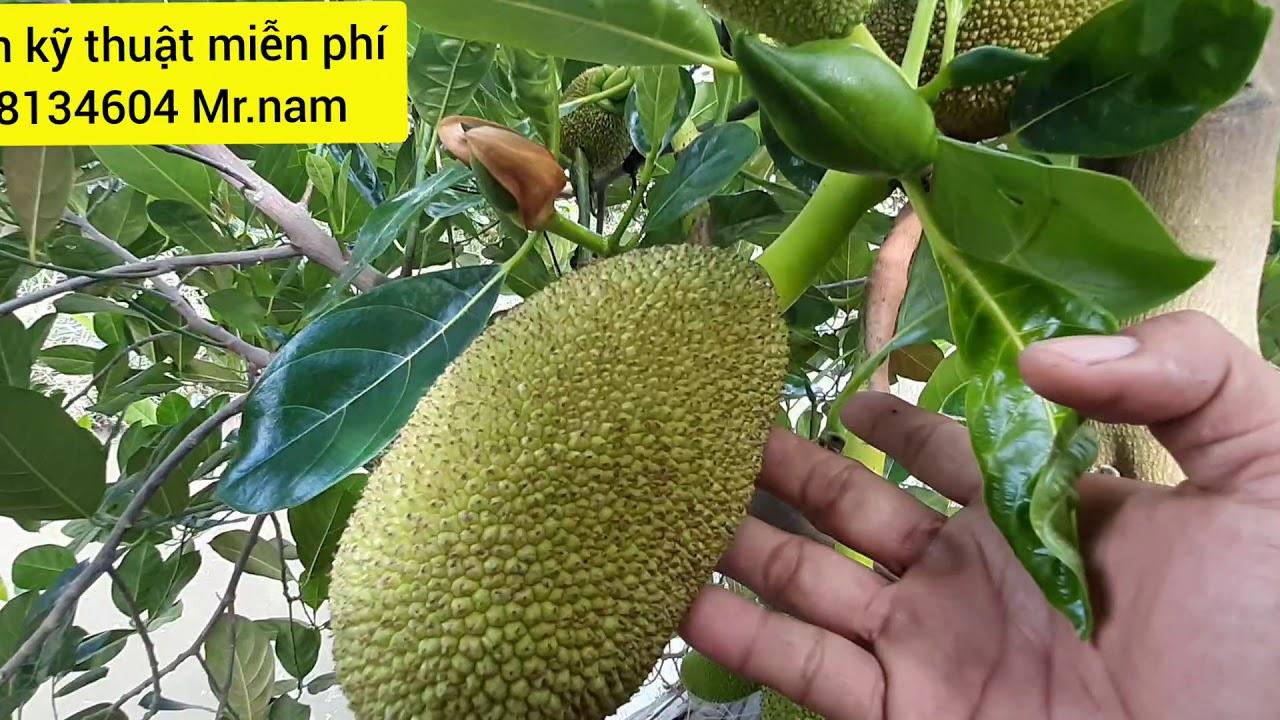 Hướng dẫn làm bông mít thái-đúng 1 tháng 10 ngày cây mít ra trái