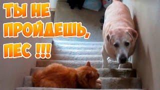 Ты Не Пройдёшь, Пёс!!! - Кошки Против Собак - Смешные Животные Октябрь 2016 ( Выпуск #5 )