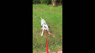 how to properly train your dog / dalmatian puppy