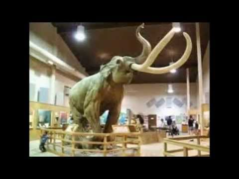 Proboscidea: Evolution of elephant (pliocene until holocene): mammoth (cloning woolly mammoth)