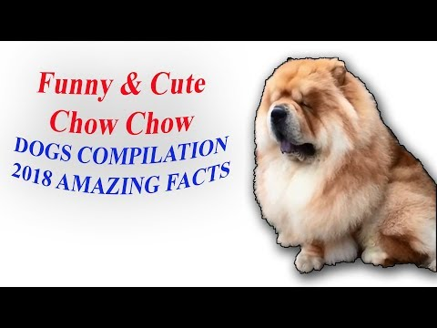 Funny & Cute Chow Chow Dogs Compilation 2018 Amazing Facts