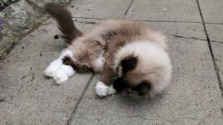 Ugo Chan Ragdoll cat waking on the leash