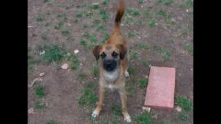 Border Terrier Mix Barking And Playing Fetch