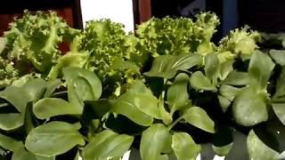 Bertanam Sayuran Hidroponik Sederhana Di Depan Rumah