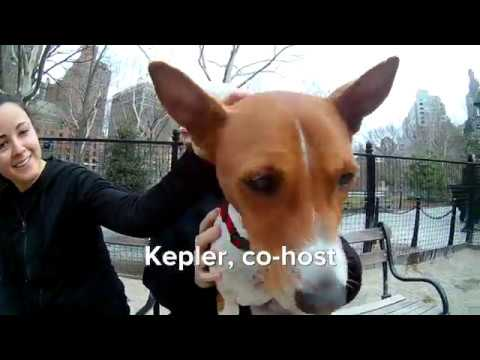 New York City Basenji Gathering - 1 April 2018 - Two New Pups & One Old Boy