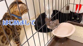 保護した黒猫に先住猫代表テトがご挨拶します!
