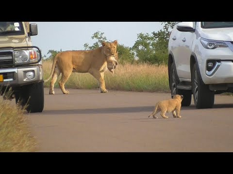 SOUTH AFRICA lioness puts her cubs in safety, Kruger national park
